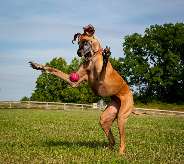 Great Dane on hind legs trying to catch ball stock photo