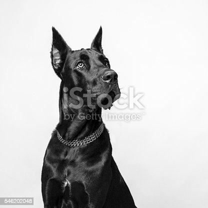Great Dane on White Background, studio shot