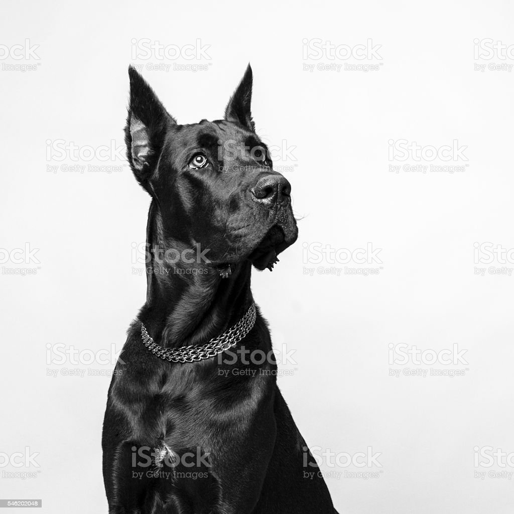 Great Dane on White Background stock photo