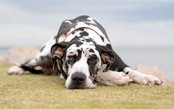 Great Dane stock photo