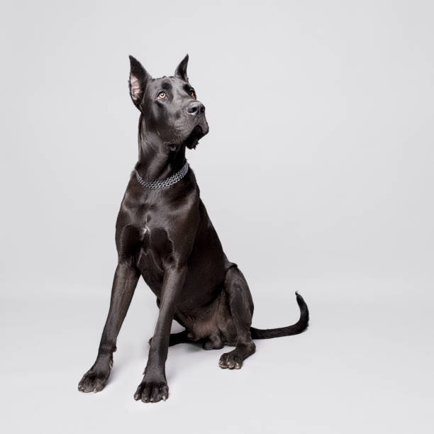 Great Dane Portrait stock photo