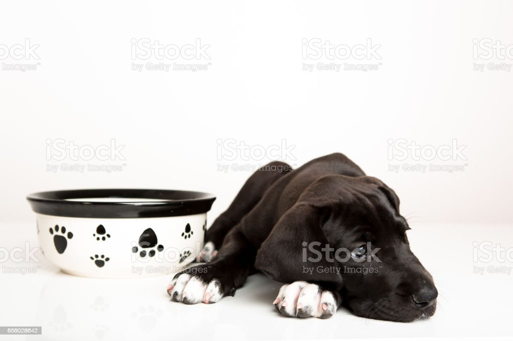Great dane puppy not hungry stock photo