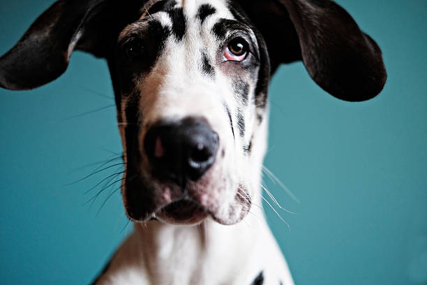 great dane puppy a harlequin great dane puppy  dane county stock pictures, royalty-free photos & images