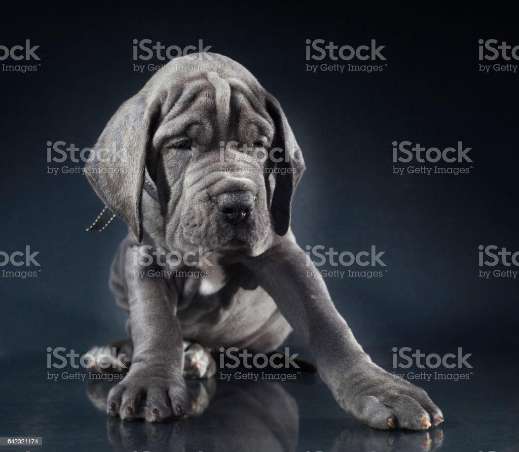 Dogge Hund – Foto