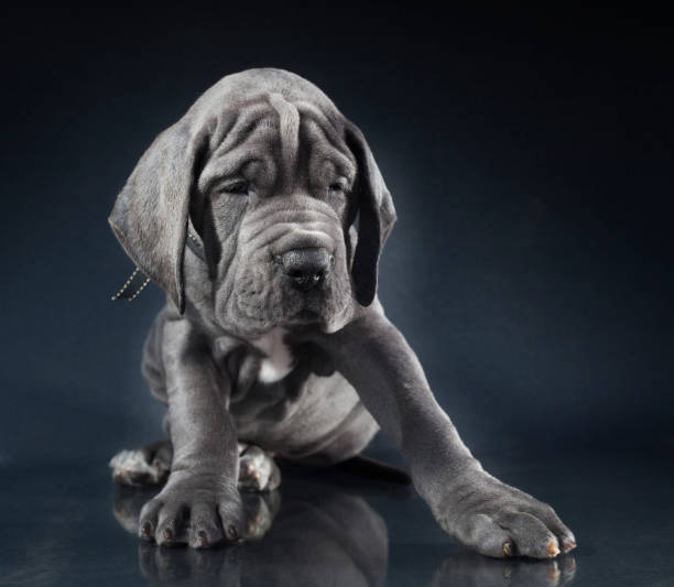 Great dane puppy stock photo