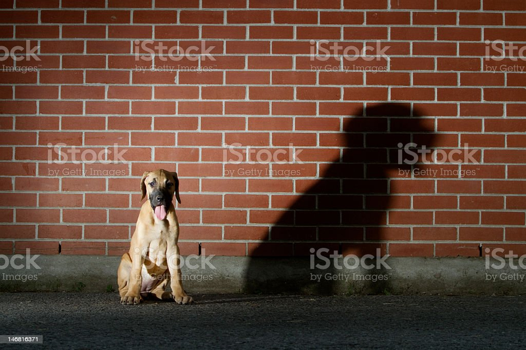 Great Dane Puppy with Large shadow stock photo
