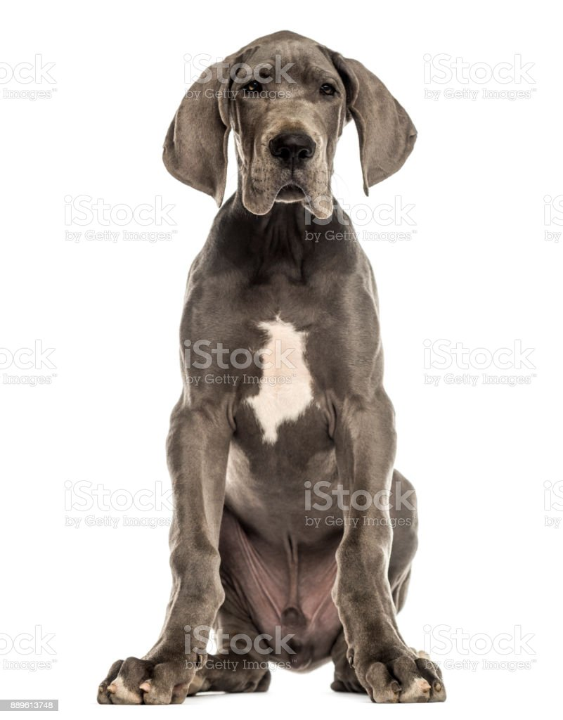 Great Dane sitting, facing, isolated on white stock photo