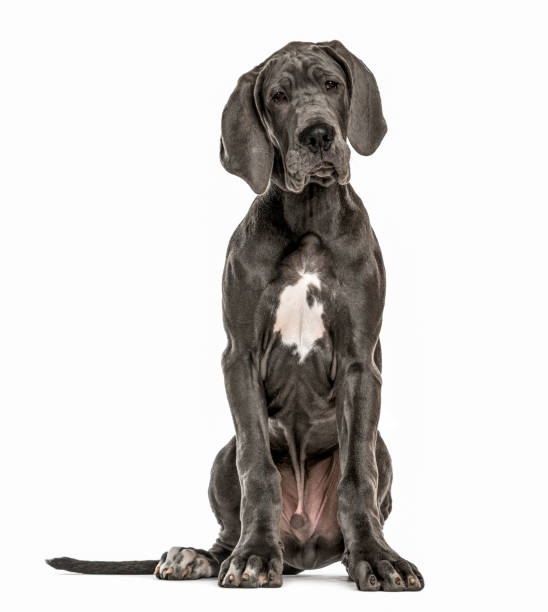 Great Dane sitting, isolated on white stock photo