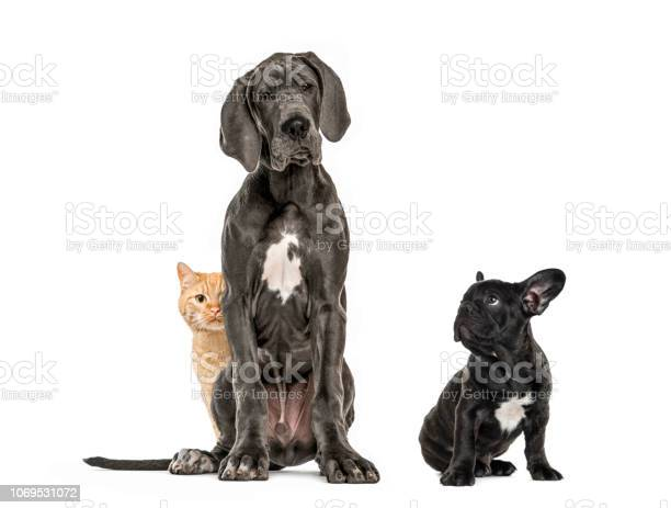 Great dane sitting puppy black french bulldog sitting and looking picture id1069531072?b=1&k=6&m=1069531072&s=612x612&h=1ny isxsh3x7ukwpbkqxltd6s3qzid7sijcedhdieyi=