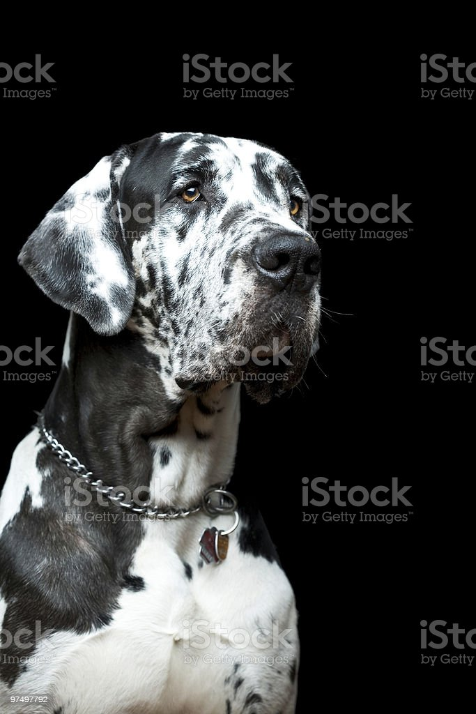 Great Dane SPIKE royalty-free stock photo