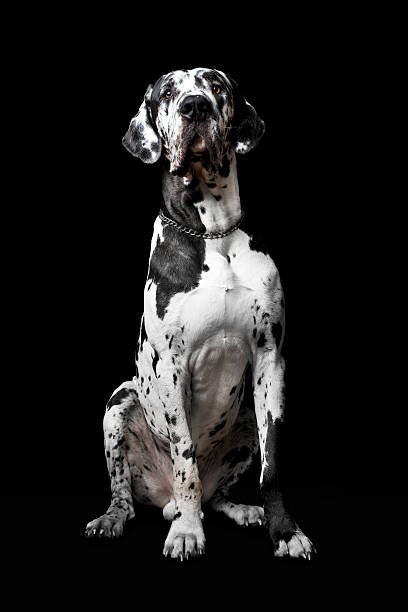 Cão Dinamarquês SPIKE - foto de acervo