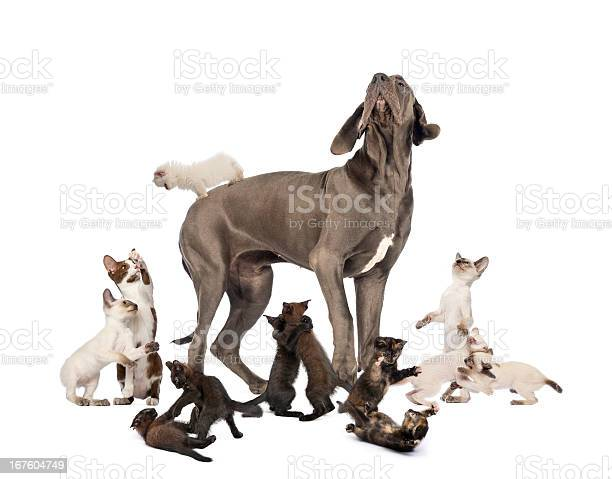 Great dane standing in the middle of cats playing picture id167604749?b=1&k=6&m=167604749&s=612x612&h=u0nyufcwfk42vlpimkjc4lfcmvmxuojjp1xoj6uaq4g=