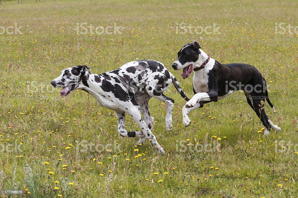 Great Danes running stock photo