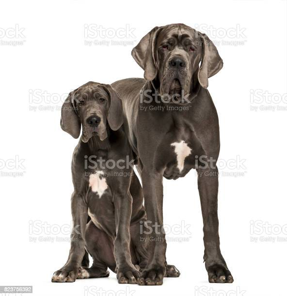 Great danes sitting and standing isolated on white picture id823756392?b=1&k=6&m=823756392&s=612x612&h=20wbqcdoj ikzg6eujkmvq6yhybtvatega39wblxrl0=