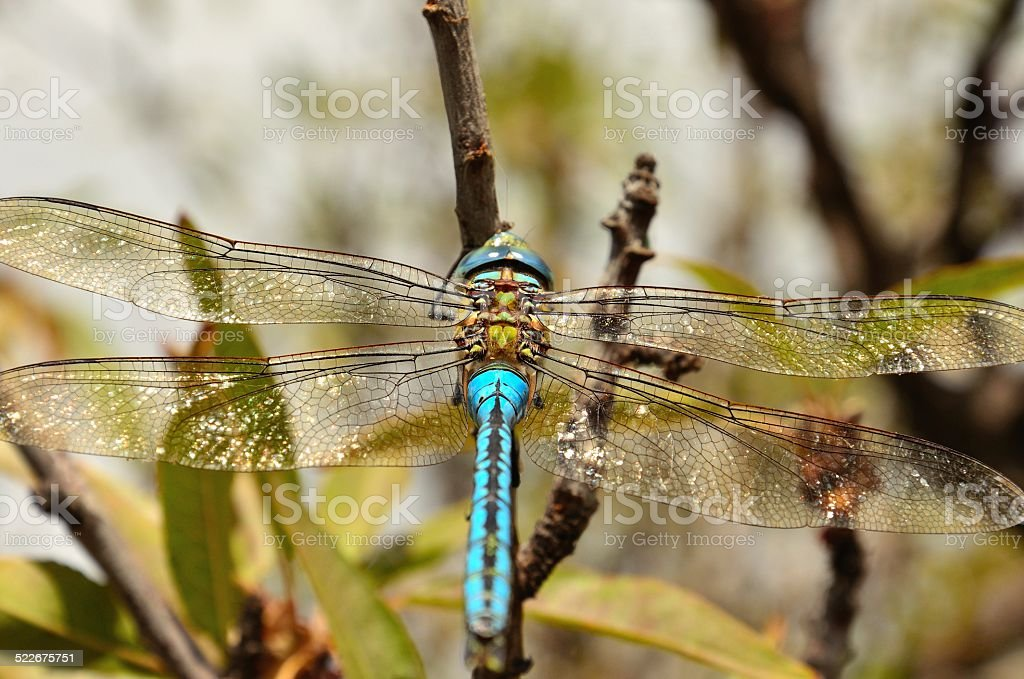 Great dragonfly anax imperator stock photo