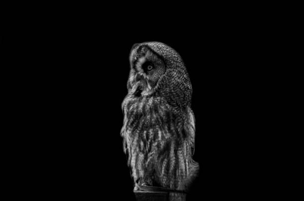 Great duke owls picture id1288234452?b=1&k=6&m=1288234452&s=612x612&w=0&h=u7m6nkxm5cnnc2p03suzoqwuy1trvi1oq52n l mali=