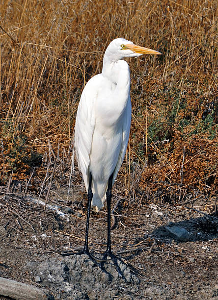 Great Egret 1 Great Egret, standing on shore. neilliebert stock pictures, royalty-free photos & images