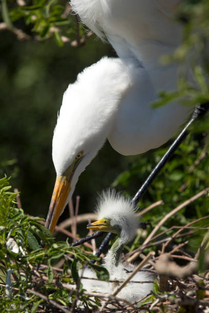 Great egret adult with young in the nest, Florida. stock photo