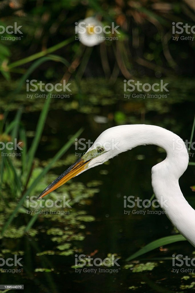 great egret and flower royalty-free stock photo