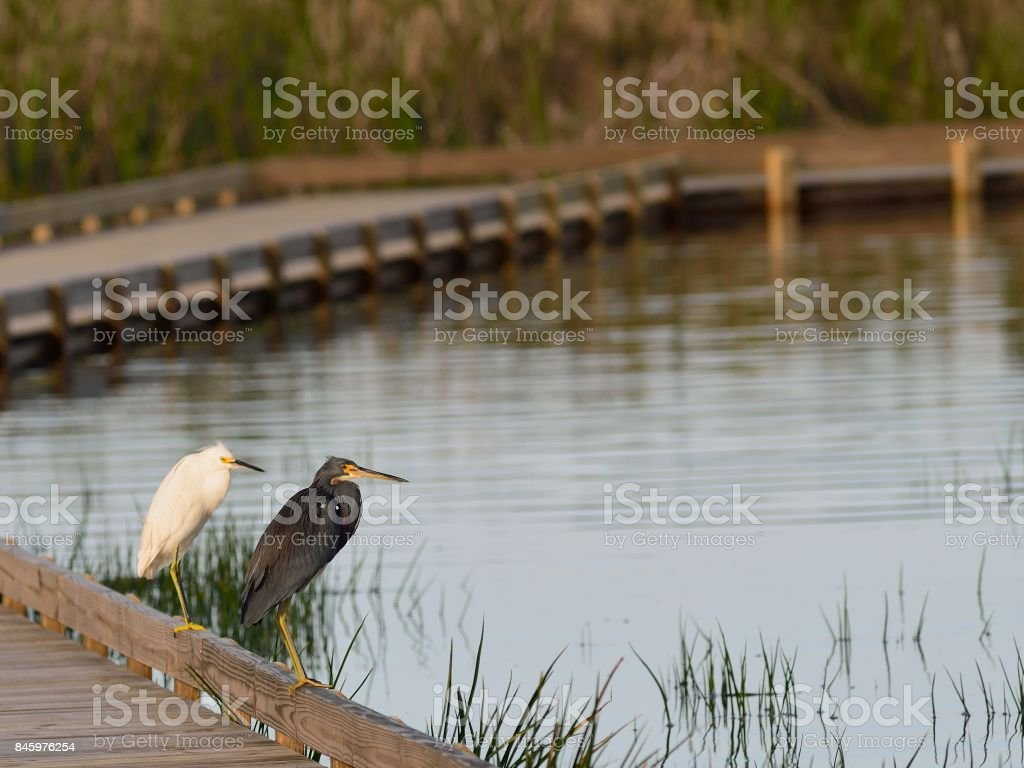 Great Egret and Great Blue Heron Sharing stock photo