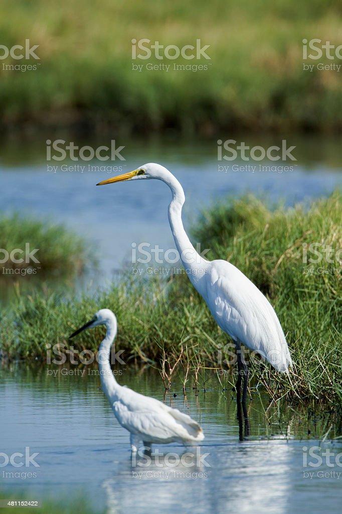 Great egret and little egret in Pottuvil, Sri Lanka stock photo