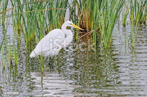 A Great Egret, Ardea alba, standing in a wetlands hunting for food. This particular guy was on South Padre Island in Texas.