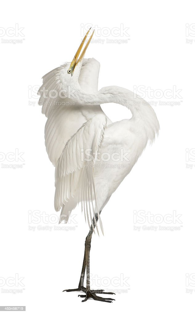 Great Egret, Ardea alba, standing in front of white background stock photo