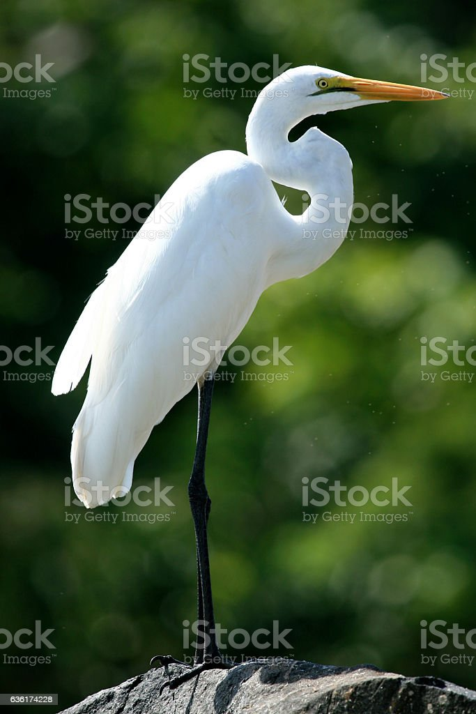 Great Egret at Lake Victoria - The Source of The River stock photo