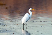 A Great Egret (Ardea alba) at sunset  at the San Jacinto Wildlife Area in Riverside County, southern California.