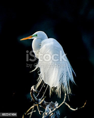 Beautiful Great Egret Perched In Morning Light With Breeding Plumage And Colors. This white wading bird against a black background is beautiful art.
