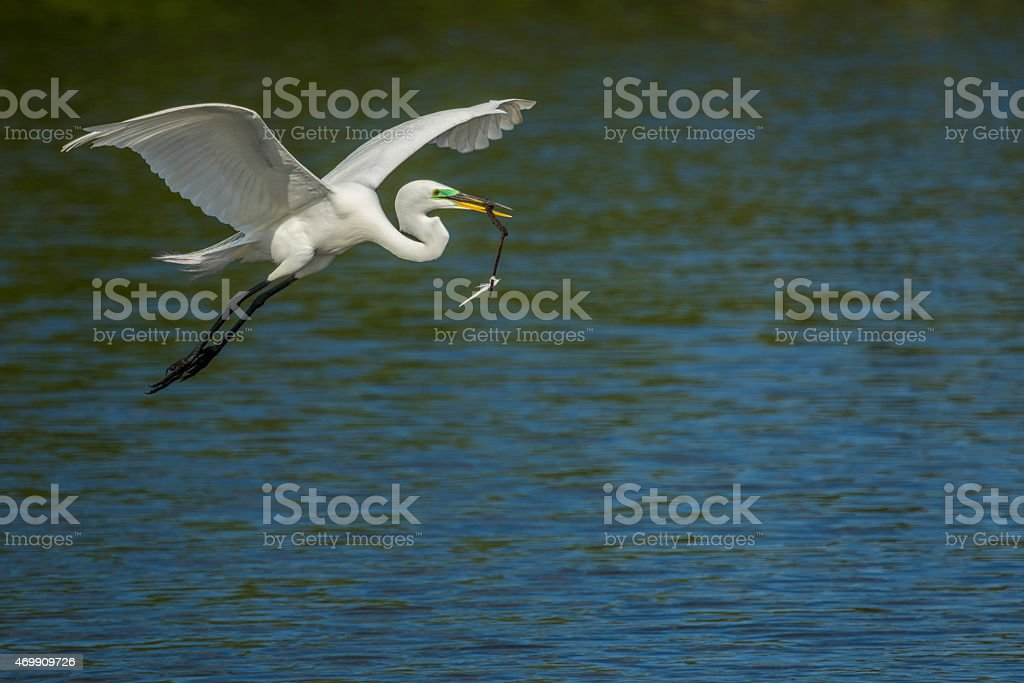 Great Egret carrying stick to nest stock photo
