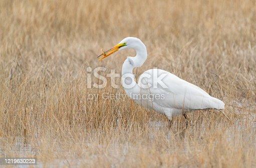 Great Egret (Ardea alba) in a Salt Marsh. Parker River National Wildlife Refuge, Massachusetts