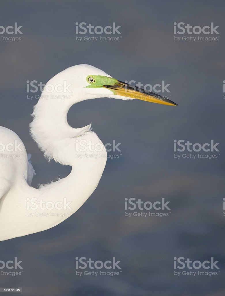Great Egret close-up royalty-free stock photo