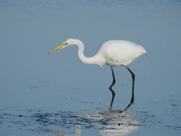 Great egret, common egret, American egret looking for food stock photo