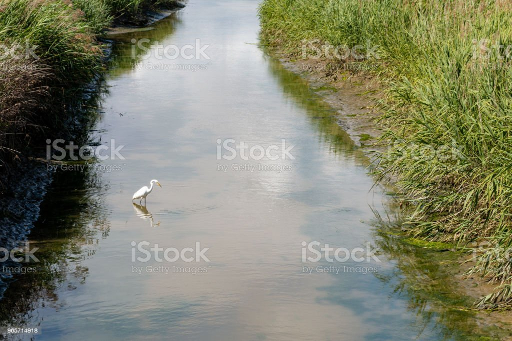 Great Egret fishing in wetland stream. - Royalty-free Animal Wildlife Stock Photo