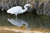 Great egret fishing (Egretta alba)