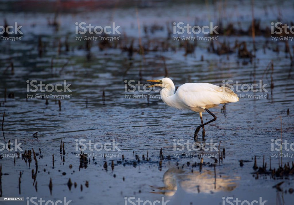 Great Egret Fishing stock photo