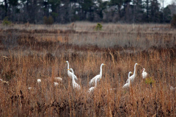 great egret flock gathers at mattamuskeet wetlands in north carolina - pam schodt stock photos and pictures