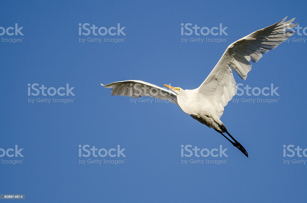 Great Egret Flying in Blue Sky stock photo