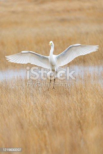 Great Egret (Ardea alba) flying in a Salt Marsh. Parker River National Wildlife Refuge, Massachusetts