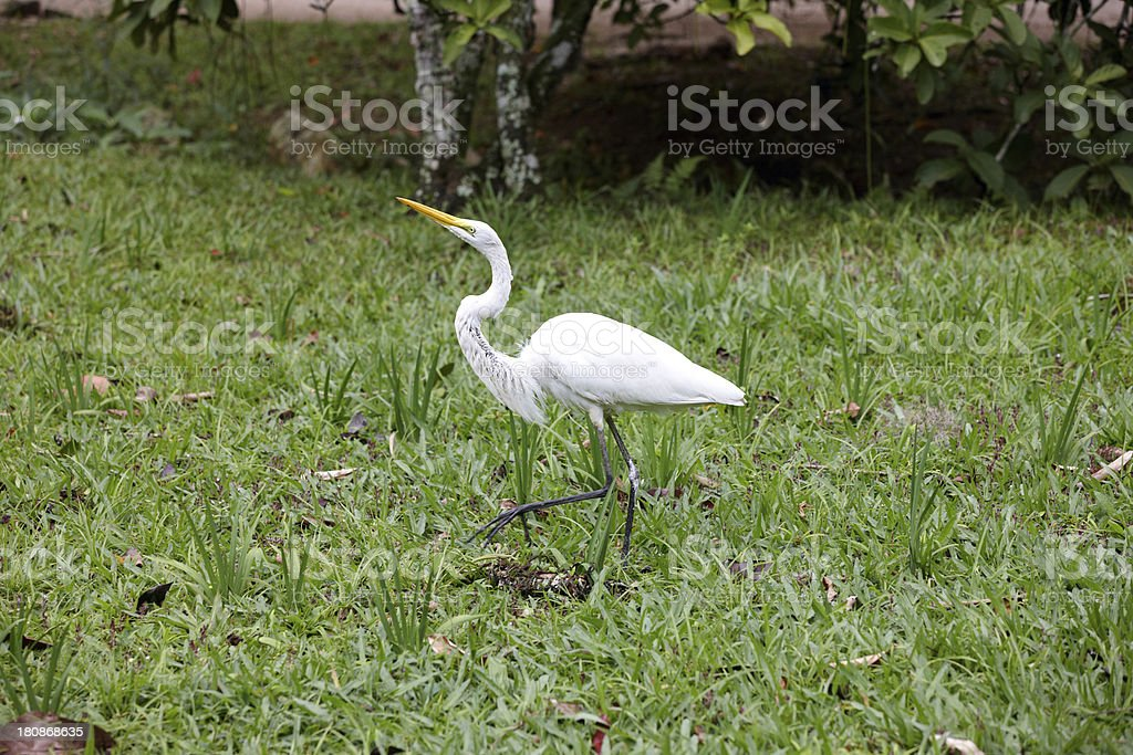 Great egret hunting in reeds royalty-free stock photo