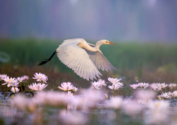 Great Egret iflying in  water lily pond stock photo