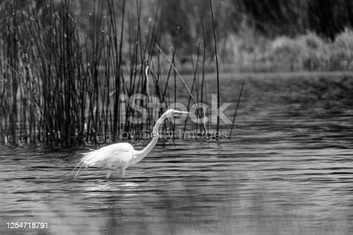A Great Egret in a desert pond in black and white