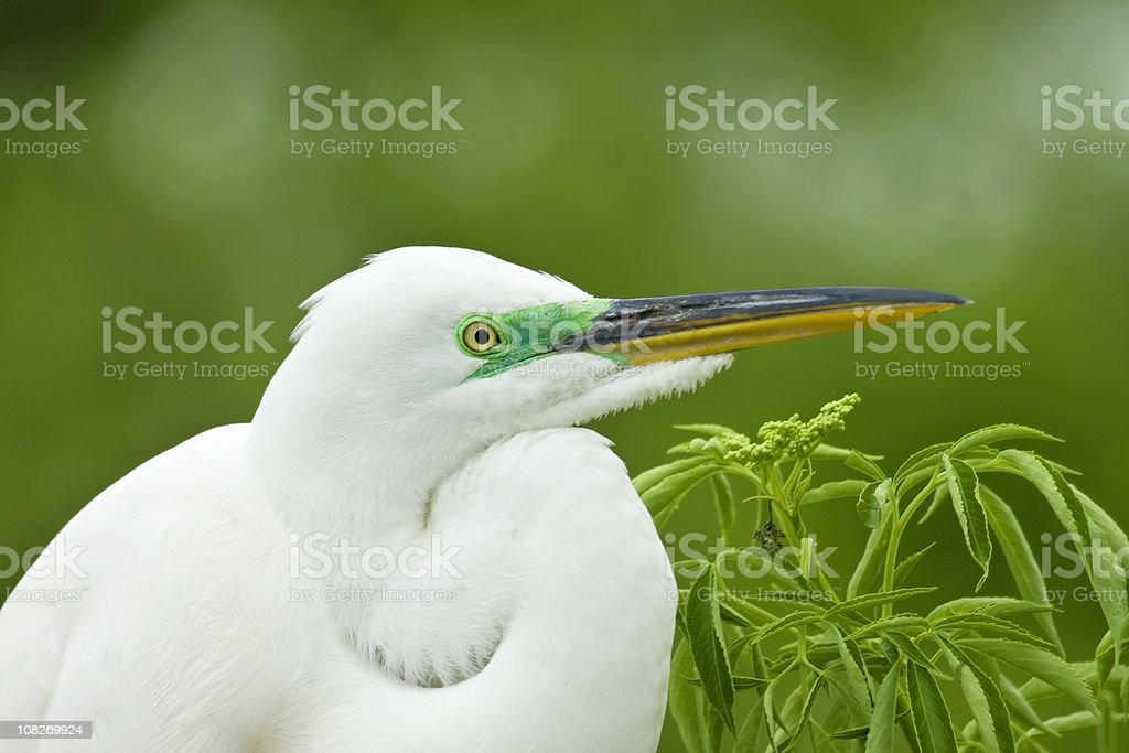 Great Egret in Breeding Colors royalty-free stock photo