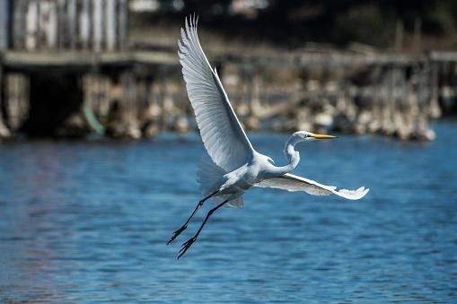 Great egret (Ardea alba) in flight over coastal California lake.