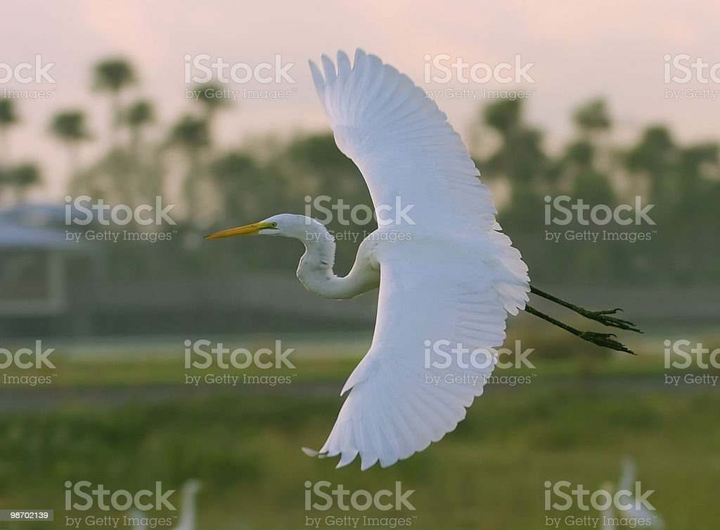 great egret in flight royalty-free stock photo