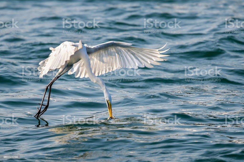 Great Egret (Ardea alba) in flight to catch fish stock photo