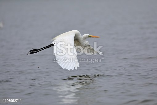 The great egret, also known as the common egret, large egret, or great white egret or great white heron is a large, widely distributed egret, with four subspecies found in Asia, Africa, the Americas, and southern Europe.