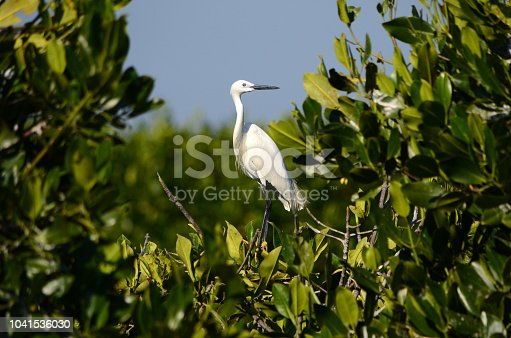 Great Egret in Mangrove Forest bird Habitat Aceh province, Indonesia