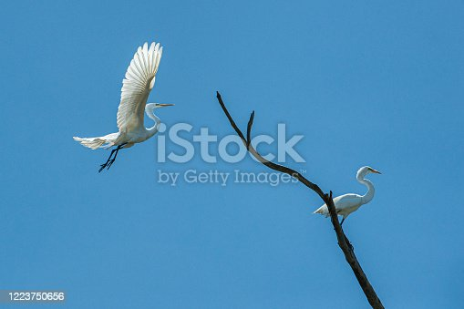 Great egret (Ardea alba) captured in mid-air flying over natural ocean slough, spring nesting area.  Another egret is perched on tree branch.
